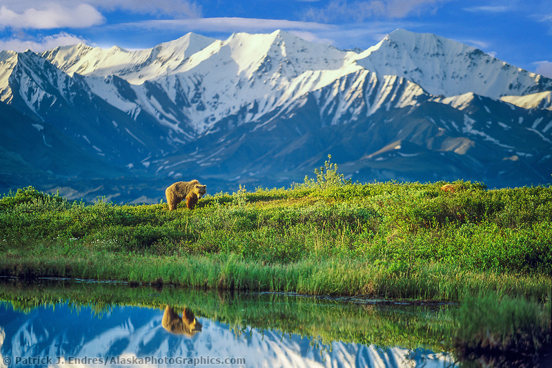 Digitally modified: (sky altered to blue) female grizzly bear basks in the morning sun near a small tundra pond in Denali National Park, Alaska, snow covered Alaska mountain range in the distance.