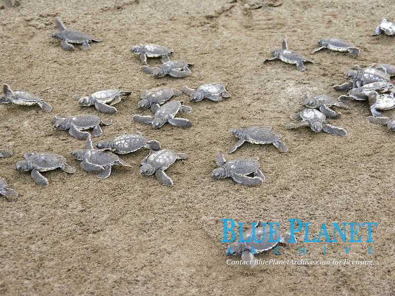 green sea turtle hatchlings, Chelonia mydas, runs to the sea, Dominica, West Indies, Caribbean, Atlantic