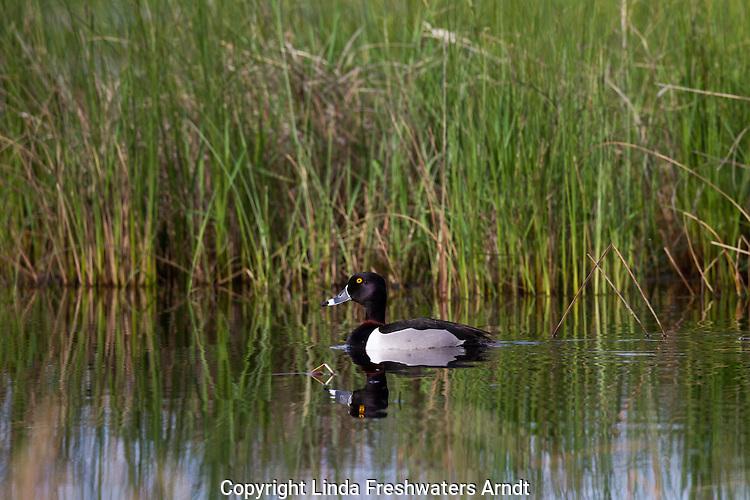 Drake Ring-necked Duck in spring