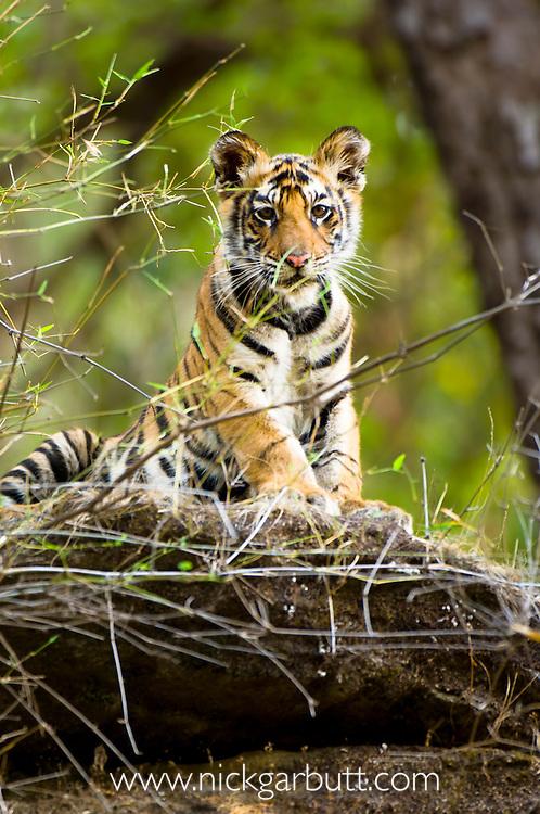 Three-month old Bengal Tiger cub (Panthera tigris tigris) on rock. Bandhavgarh NP, Madhya Pradesh, India.