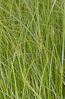 Hohes Zypergras, Langes Zypergras, Zyperngras, Cyperus longus, Galingale, Sweet Galingale