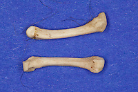 Untersuchung von einem Gewölle einer Eule, Uhu, Uhugewölle, Speiballen, die unverdauten Knochen als Nahrungsreste wurden aus einem Geölle heraus sortiert, Uhu hat einen Igel gefressen, verschiedene Knochen als unverdauliche Nahrungsreste