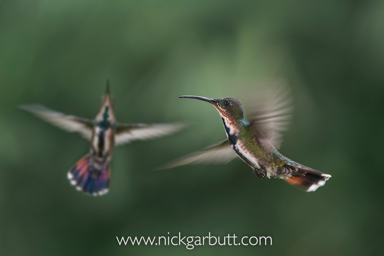 Female Green-breasted Mango (hummingbird) (Anthracothorax prevostii) in flight. Hovering in front of feeder. Montane rainforest, Rancho Naturalista Lodge, Caribbean slope, Costa Rica.