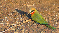 A white-fronted bee-eater photographed at Mashatu Game Reserve.