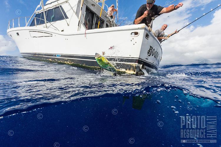 The crew of sport fishing boat Boom Boom pull up their catch, a mahimahi (a.k.a. dolphinfish) near Ka'ena Point, O'ahu.
