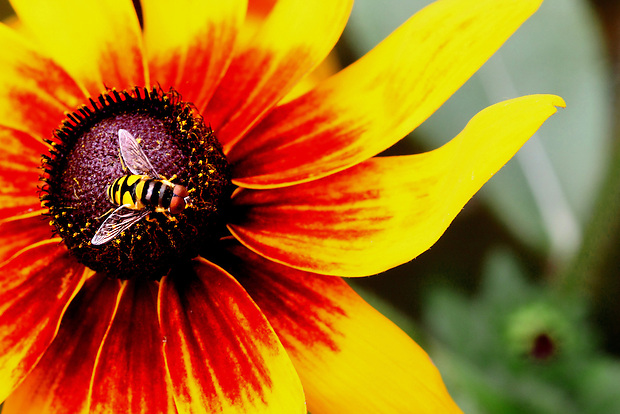 A syrphid fly pollinates a rudbeckia flower while collecting nectar at The The Gardeners of America/Men's Garden Clubs of America national headquarters garden in Johnston, Iowa.  It was a busy morning at the garden for flower pollinating insects - and for humans - as a group of volunteers worked to care for the beautiful blossoms.