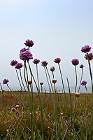 Armeria maritima, also known as California seapink and sea thrift, at Bean Hollow State Beach on the California Coast.