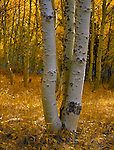 Inyo National Forest, CA <br /> Morning sun filters into white aspen (Populus tremuloides) trunks in a fall colored grove along Rush creek below Silver lake