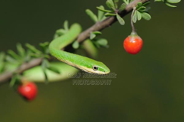 Rough Green Snake (Opheodrys aestivus), adult on berry bush, Refugio, Fennessey Ranch, Refugio, Coastal Bend, Texas, USA