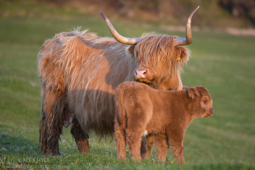 Highland cow with calf, Isle of Mull, Scotland, UK. June.