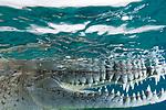 American Crocodiles, Crocodile, Crocodile side view underwater, Cuba Underwater, Gardens of the Queen Cuba Underwater, Jardines de la Reina, Protected Marine park underwater, reef scenic
