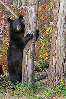 Black Bear cub clinging to a tree