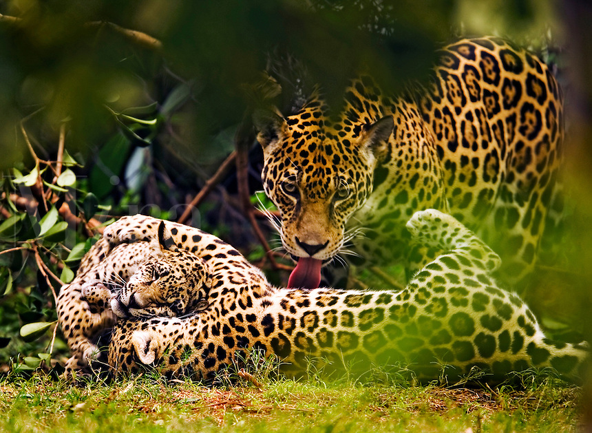 Jaguar (Panthera onca) cubs wrestling while mother grooms their fur with tounge