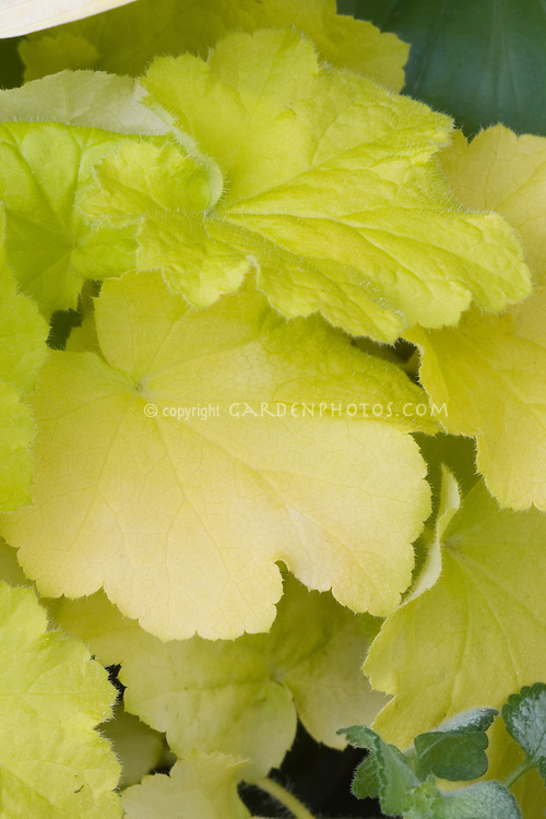 Heuchera Citronelle foliage plant closeup of yellow green leaves