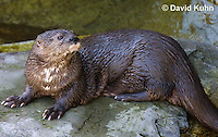 0507-1003  African Spot-necked Otter, Lutra maculicollis  © David Kuhn/Dwight Kuhn Photography.