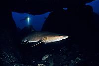 Sand tiger shark, Carcharias taurus, Bonin Islands, Ogasawara, Tokyo, Japan, Pacific Ocean