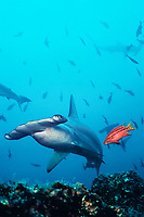Mexican hogfish, Bodianus diplotaenia, approaches scalloped hammerhead shark, Sphyrna lewini, to clean it of parasites, Cocos Island, Costa Rica, East Pacific Ocean
