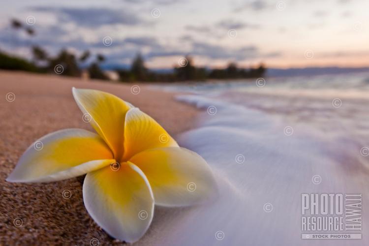 Plumeria on the beach at sunset