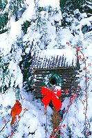 Male Northern Cardinal, Cardinal Cardinalis, sits on holly branch outside log cabin birdhouse decorated for Christmas