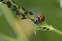 Variabler Flach-Marienkäfer, frisst Blattlaus, Blattläuse, in Blattlauskolonie, Variabler Flachmarienkäfer, Veränderlicher Marienkäfer, Hippodamia variegata, Coccinella variegata, Adonia variegata, Variegated Lady Beetle, Adonis' Ladybird, Spotted Amber Ladybird, White Collared Ladybird, Variegated ladybird, Marienkäfer, Coccinellidae, Ladybirds, Lady Beetles, Ladybirds