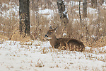 White-tailed doe bedded at the forest's edge.