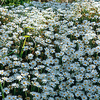 A close up of a bed of daisies