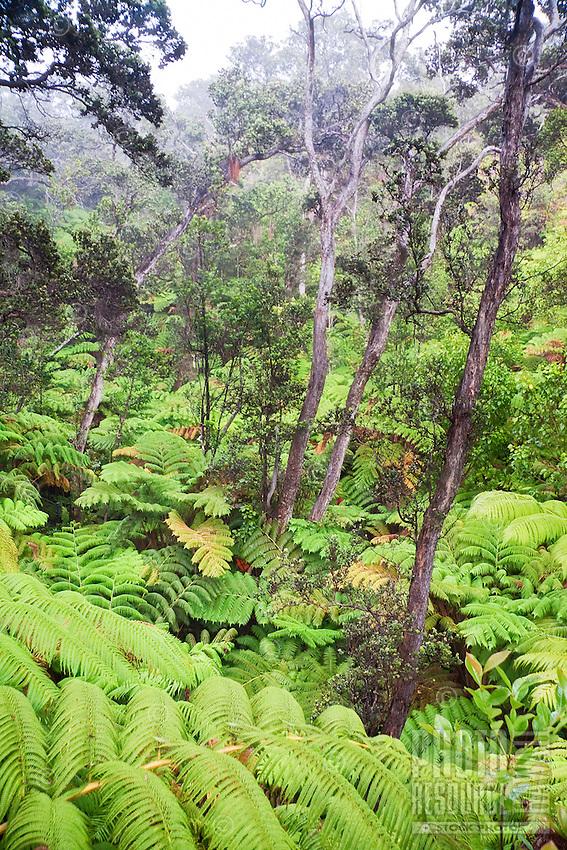 Hawaiian tree fern or hapu'u (Cibotium glaucum) and 'ohi'a lehua tree (Metrosideros polymorpha) Hawai'i Volcanoes National Park, Kilauea, Big Island.