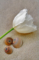 Fringed white tulip and sea snails in sand