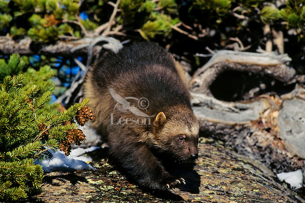 Wolverine on hillside near East Glacier, Montana.