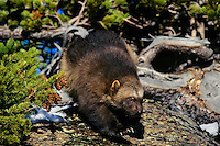 Wolverine on hillside near East Glacier, Montana.