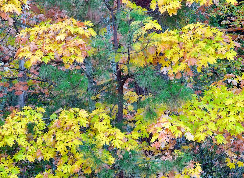 Fall colored Big Leaf Maple tree with Ponderosa tree. Hood River County, Oregon