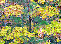 Fall colored Big Leaf Maple tree with Ponderosa tree. Hood River County, Oregon