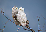 Pair of Snowy Owls perched in a treetop in Montana.