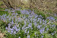 bluebells at Arnold Arboretum, Jamaica Plain, Boston, MA