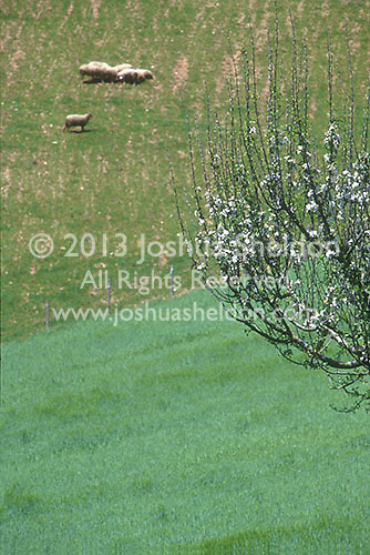 Sheep in pasture<br />