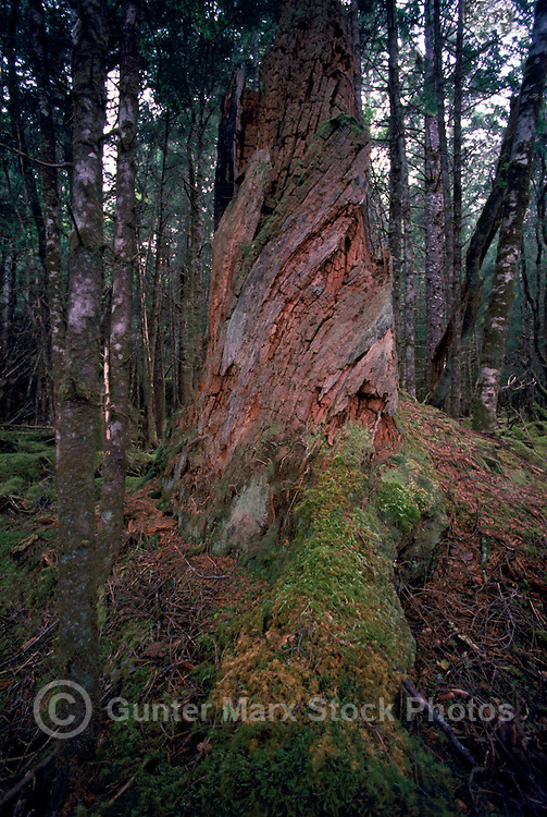 Haida Gwaii (Queen Charlotte Islands), Northern BC, British Columbia, Canada - Coniferous Tree shaped by Stormy Winds, in Temperate Rainforest on Graham Island