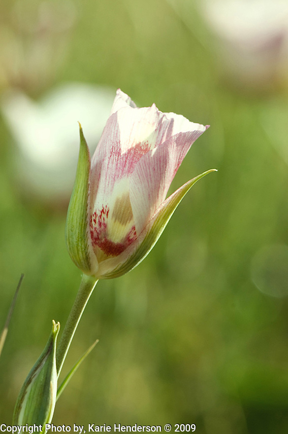 """A Mariposa Lily photographed with a Nikon D300 with a 105mm lens atop a field in Big Sur, California.  The Mariposa Lily, Calochortus venustus, means """"charming grass"""" while the common name Mariposa is Spanish for """"butterfly"""".  Although mostly a white petal, you'll also observe a red, pink, purple, lilac and yellow variations.  They are found from elevations between 2500- 9000ft. and were revered by indigenous groups as an edible gift of the gods."""