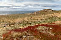 South America, Chile, Region de Magellanes y de la Antartica Chilena,Isla Magdalena, Magellanic Penguins