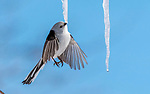 A long-tailed tit looks to be suspended in the air as it takes a drink from an icicle.  The thirsty bird flew up to the icicle hanging from a tree branch, and drank the water from the bottom as it melted.<br /> <br /> The tits are known to take turns drinking from the icicles during the freezing winters.  The photos were taken in sub-zero temperatures by George Swift in Hokkaido, Japan.  SEE OUR COPY FOR DETAILS.<br /> <br /> Please byline: George Swift/Solent News<br /> <br /> © George Swift/Solent News & Photo Agency<br /> UK +44 (0) 2380 458800