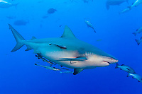 bull shark, Carcharhinus leucas, pregnant, Shark Reef Marine Reserve, Beqa Passage, Viti Levu, Fiji (South Pacific Ocean)