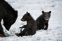 Grizzly Bear Cubs, Yellowstone National Park
