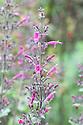 Lepechinia floribunda, mid august. Native to  Peru, Bolivia, and Argentina.