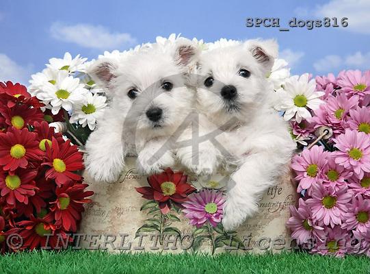 Xavier, ANIMALS, dogs, photos, SPCHDOGS816,#A# Hunde, perros