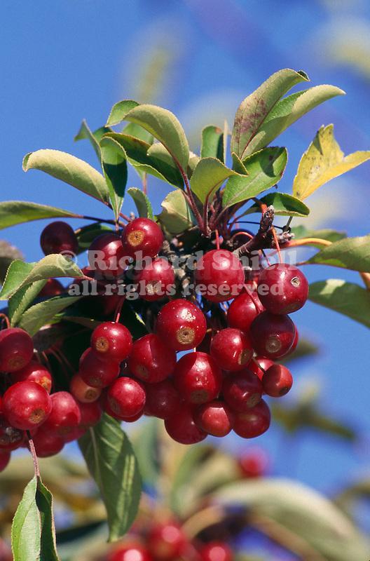 11084-CB Sugar Tyme Crabapple, Malus `Sutyzam', fruit cluster at end of branch, at Dayton, Oregon