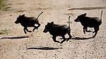 Kenya, Chyulu Hills National Park, common warthog (Phacochoerus africanus) piglets