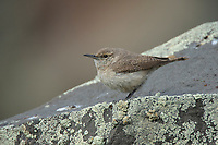 Adult Rock Wren (Salpinctes obsoletus). Douglas County, Oregon. April.