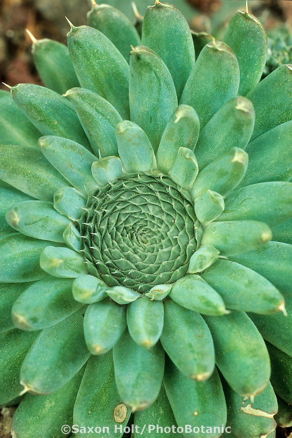 """Sunflower"" hardy succulent Orostachys spinosa. Colorado."