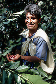 Quillabamba, Peru. Coffee picker at work; Ccochapampa Fair Trade cooperative.