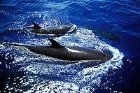 False-killer Whales, Pseudorca crassidens, surfacing in the AuAu Channel, Maui, Hawaii, USA.