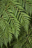 Lophosoria quadripinnata (Chile) aka Ampe ferm